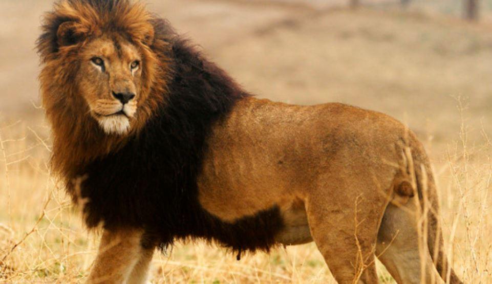 Soñar con leones: Significado, Interpretación