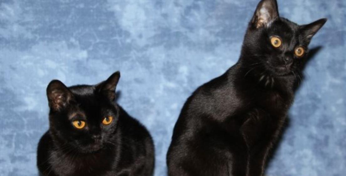 Soñar con gato negro: Significado, Interpretación
