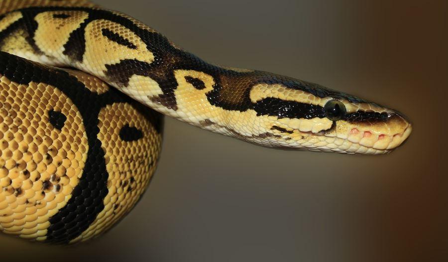 Soñar con serpientes: ¿Cuál es el significado?