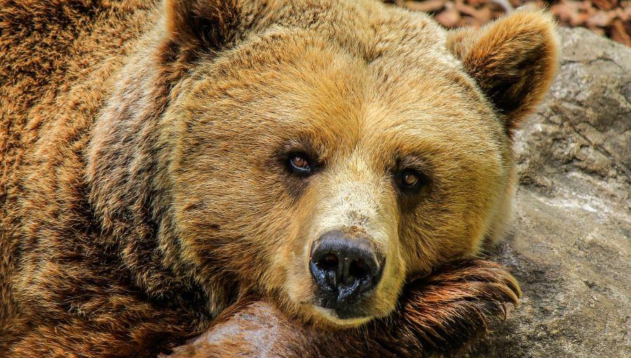 Soñar con osos: Significado e interpretación del sueño