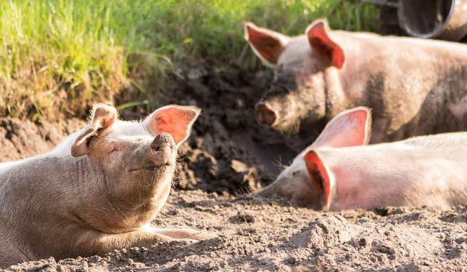 Soñar con cerdos: Significado e interpretación del sueño