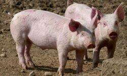 Soñar con cerdos: Significado de los sueños