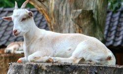 Soñar con cabras: Significado de los sueños