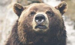 Soñar con osos: Significado de los sueños