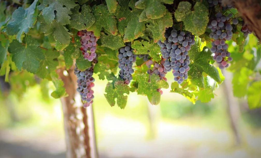 Soñar con uvas